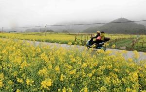 高清图集:融安春雨连绵 油菜花怒放迎春