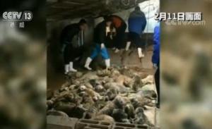辽东湾斑海豹盗猎案后续:获救斑海豹将被公开放生