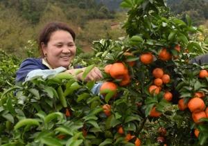 柳州三江群众赶采沙糖桔供应市场助增收(图)