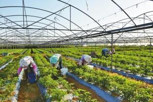 北海:银海果蔬核心示范区在广西享有盛名