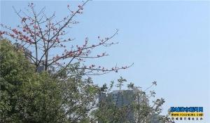 防城港市行政中心区一带木棉花迎风绽放