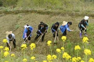 三江农户种植中草药增收脱贫(组图)