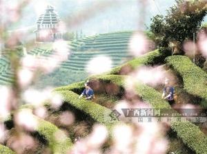"""三江:""""茶旅融合""""闯出脱贫新路"""