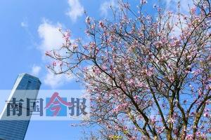 柳州今年洋紫?;ㄆ谠げ獬雎?4月1-3日迎来始花期