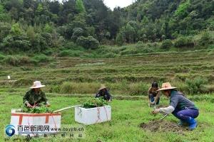 德保县城关镇首批80余亩百香果投入种植