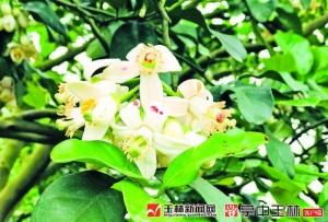 春来侨乡赏柚花 容县2019年柚花文化旅游节开幕