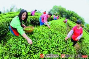 古树茶可卖4000元/公斤 春茶吐绿茶农采摘忙