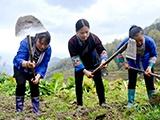三江£º种植茶叶促增收助脱贫(组图)