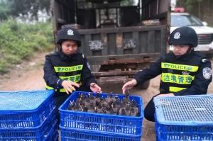 高清��崇左查获自治区级野生保护鸟类八哥503只