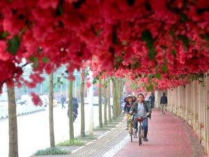 7?#25112;?#28857;图:?#22799;?#34903;头巷尾三角梅等花卉进入盛花期