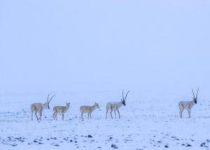 新疆阿尔金山保护区生态恢复趋好