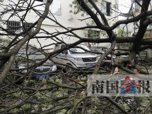 """凌晨狂风刮倒大树 10辆汽车被""""埋""""在树冠下(图)"""