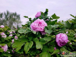 第八届中国汉牡丹文化节在柏乡开幕