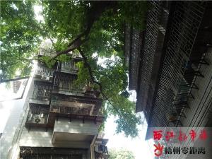 梧州一古榕树枯枝掉落存隐患 已向相关部门请示