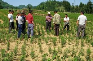 隆林举办百合除芽打顶摘花蕾技术培训