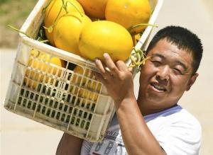 河北衡水:甜瓜飘香富农家