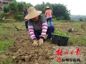 长洲区古善村发展黄金百香果种植增加经济收入