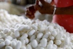 羅城:小蠶繭成群眾脫貧大產業(組圖)
