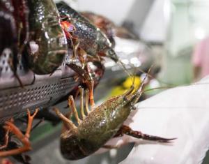 """从尼罗河畔到中国餐桌――一只""""洋""""小龙虾的36小时旅程"""