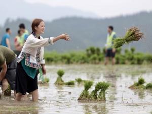 """融水:种下""""药糯"""" 村民互帮互助抢插秧苗"""