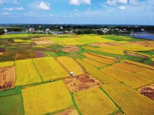 合浦縣18萬畝早稻迎來收獲季