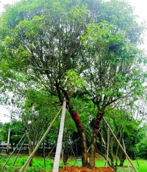 桂林:珍稀桂花树价值2.8万 男子趁暴雨盗走