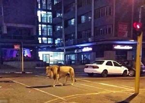 南宁武鸣区有狮子跑出来溜达��不少网友信了(图)