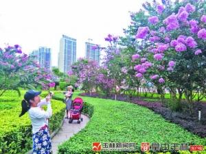 """江南公园""""约会""""紫薇"""