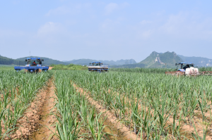 """2014年以来崇左已建设甘蔗""""双高""""基地193.38万亩"""