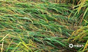 高清组图:强降雨致东兰大面积水稻倒伏