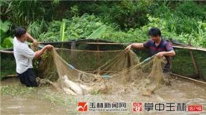兴业县旺翻村��泉活水养出生态鱼