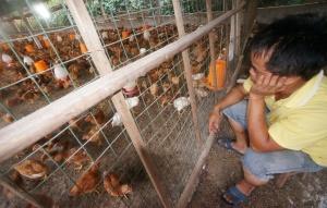 养殖户本想饲养文昌鸡 不料养出五花八门的鸡(图)