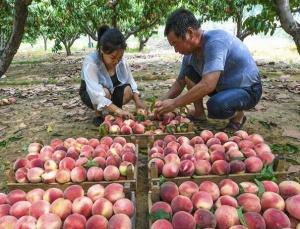 河北永清:鲜桃种植富乡村