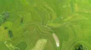 高清:融安十万余亩早稻进入成熟期