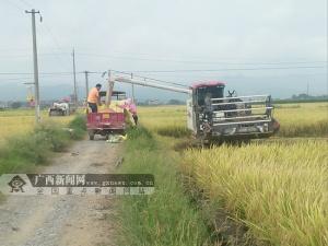 田阳:机械化收割水稻提效增收(图)