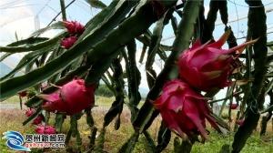 富川縣:200畝紅心火龍果喜獲豐收