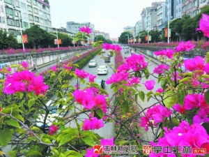 广植市花 提升城市颜值