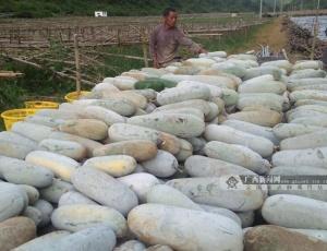 田陽:冬瓜上市,助農增收