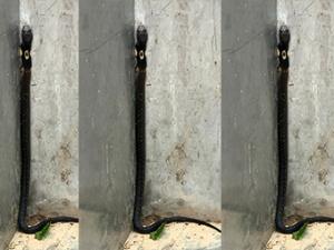 8月22日焦点图:一条眼镜蛇现身南宁南湖公园