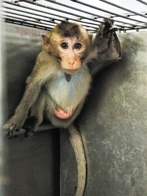 广西近10年来首次获批入境的食蟹猴顺利抵邕(图)