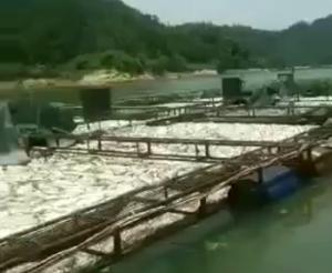 融安四維河網箱養魚大量死亡 記者核查情況屬實