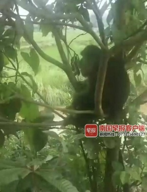 罕见黑猴现身罗城 在村里赖着不走还抓伤多名村民