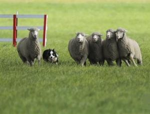 全美牧羊犬大赛决赛在科罗拉多州举行