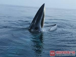 """鯨魚國慶到潿洲島""""鬧海"""" 雙鯨張嘴捕食場面壯觀"""