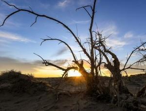 """大漠""""怪树林"""""""
