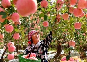 山东沂源:金秋苹果红