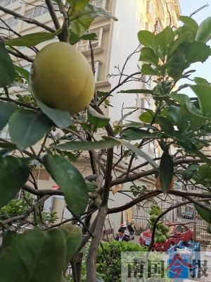 奇!沒有嫁接過,一棵柚子樹竟結出兩種果(圖)