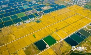 东兴晚稻陆续成熟 数百亩田园宛如金色画卷(组图)