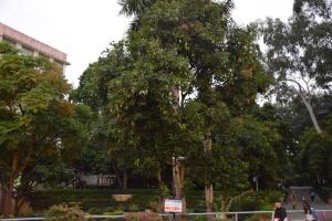 高清组图:反季芒果惊现广西民族大学校园