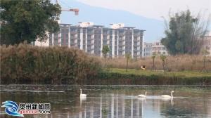 贺州市生态水系建设取得实效 引来白天鹅休憩